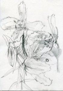 Mecanopsis