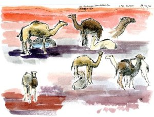 Camels being harnessed